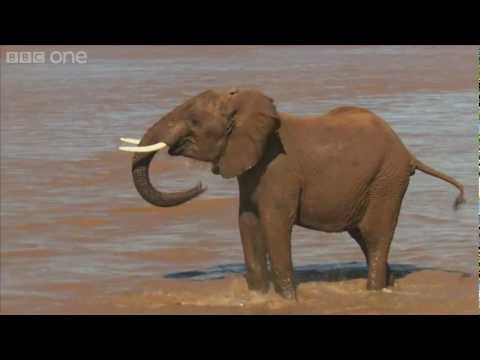 Elephants: up close and personal - Planet Earth Live - BBC One