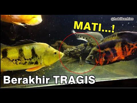 Ikan Kerapu Masuk Comtank Ikan Predator!!