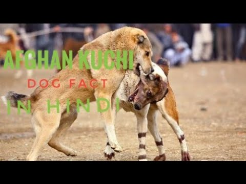 Afghan Kuchi Dog Facts In Hindi