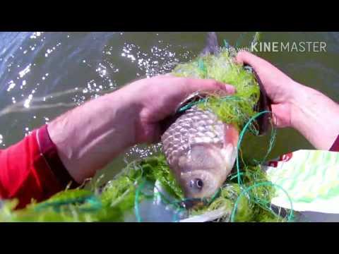 Как ловить карася сетью / How to catch a carp with a net