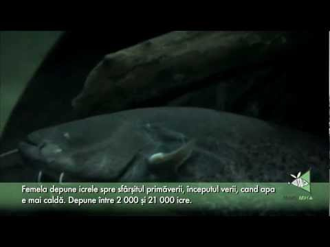 Somnul (Silurus Glanis)