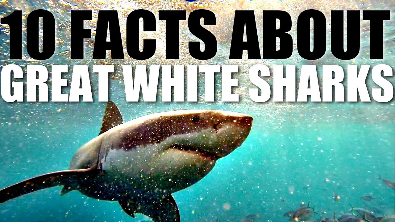 Elegant 10 Facts About Great White Sharks   YouTube Pictures Gallery