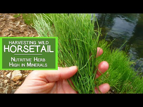 Harvesting Wild Horsetail Plant, A Nutritive Herb High in Minerals