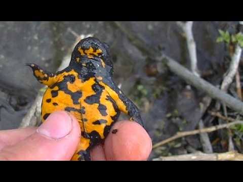 Herping Trip In Spring/ Yellow Belied Toads, European Tree Frogs 2017