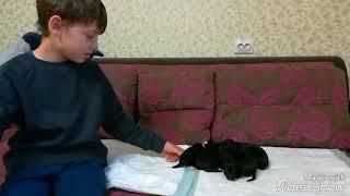 5-дневные щенки русского спаниеля