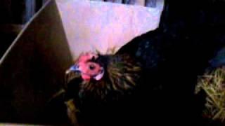 Babon Ayam Onagadori video 2012 02 10