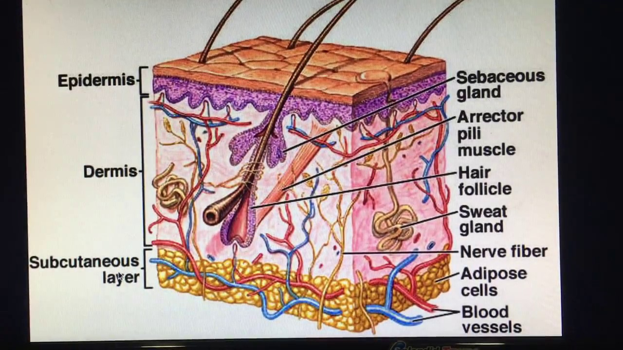 Skin Introduction Epidermis Layer Youtube