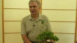 How to Grow Bonsai Trees : Tips for Growing Healthy Bonsai Trees