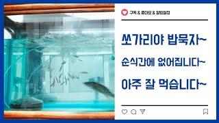 쏘가리 낚시 시즌 끝 쏘가리 생미끼 먹이기