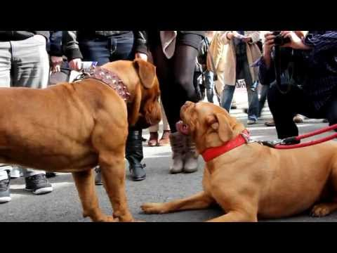 Reacción de dos dogos de Burdeos al verse por primera vez (Nortemascotas Gijón 2012)