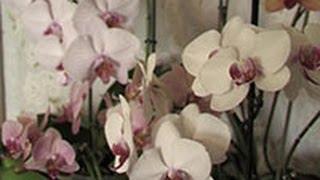 Выращивать орхидею дома -- занятие не для ленивых