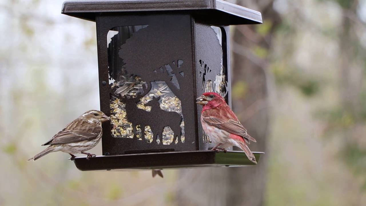 purple finch | male and female finches at the feeder - youtube
