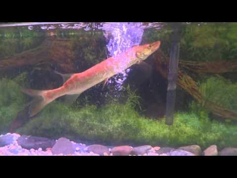 Small Musky Swimming In A Tank (TTYDSWYSAH) (Greater Outdoors Expo, Oaks, PA)