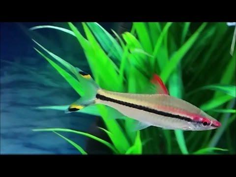 Puntius Denisonii / Denison Barb /  Red Line Torpedo Barb / Roseline Shark Care In A Community Tank