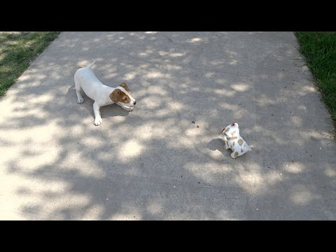 Jack Russell Terrier Puppy Barking at Hipster Robot Dog