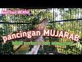 Perkutut Lokal Pancingan Mujarab Dijamin Perkutut Lain Ikut Manggung  Mp3 - Mp4 Download