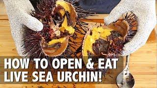 How to open and prepare LIVE Sea Urchin Uni