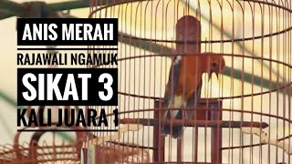 Video Anis Merah RAJAWALI Ngamuk Di Piala Prabu 19 Nyaris Cetak Quadtrick download MP3, 3GP, MP4, WEBM, AVI, FLV November 2018