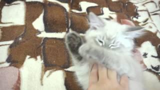 Засыпающий Невский Маскарадный кот Бартоломсей. Продаётся!
