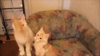 Свободные котята в питомнике мейн-кунов Star Forest