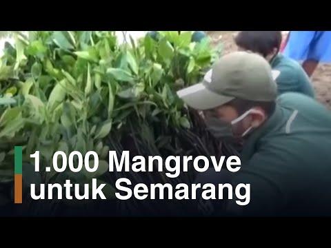 KeSEMaT dan Indonesia Power Sulam 1000 Mangrove di Semarang