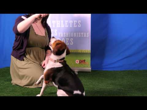 Cute dog Olive has that X Factor- she knows so many tricks