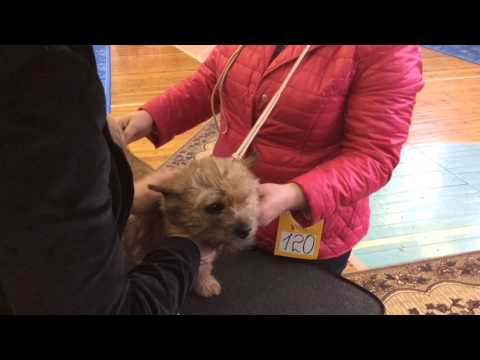 NDS POLAR REGION 2016 Norwich Terrier