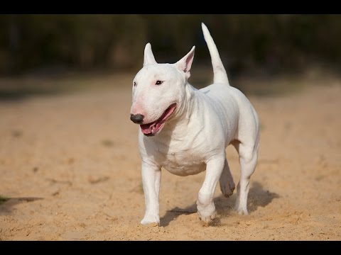 Cachorro Bull Terrier - YouTube