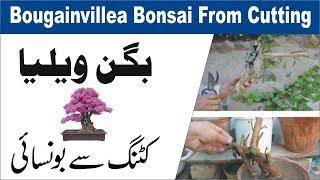 How to Grow Bougainvillea Bonsai From Cutting बोगनविले बोन्साई