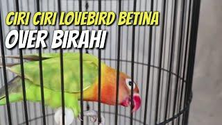 Download lagu Ini dia!! 6 Ciri ciri pertanda lovebird betina overbirahi