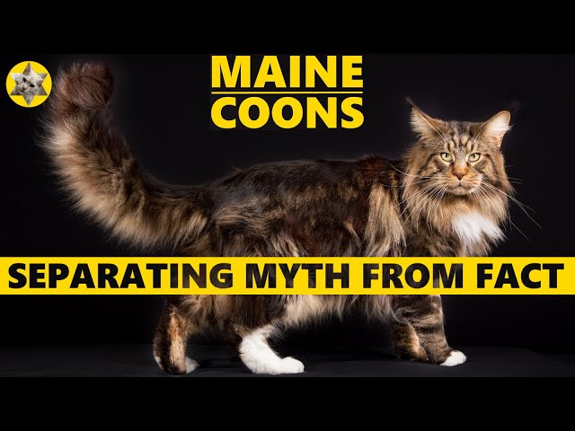 Maine Coon Facts vs Myths