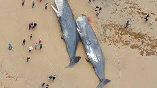 29  кашалотов выбросило на берег Северного моря......Что нашли в желудках...