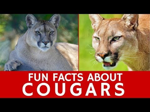 All about Cougars (Puma Concolor) for Kids and Interesting Wild Cat Facts
