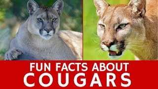 All about Cougars (Puma Concolor) for Learners and Interesting Wild Cat Facts