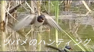 ツバメが飛びながらハンティングしている様子をスローモーションで撮影...