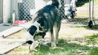 Jack Russell Mix Tries To Dominate Giant Malamute