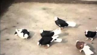 selanik dönek güvercin dönüş videosu