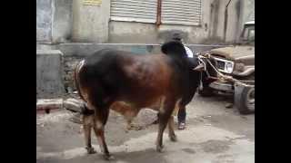 Qurbani in Dhaka 2009 Part 2