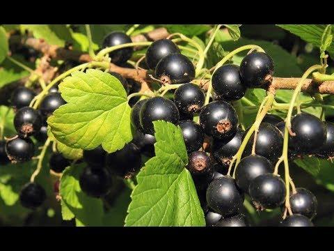 Чем полезна черная смородина и ее лечебные свойства?