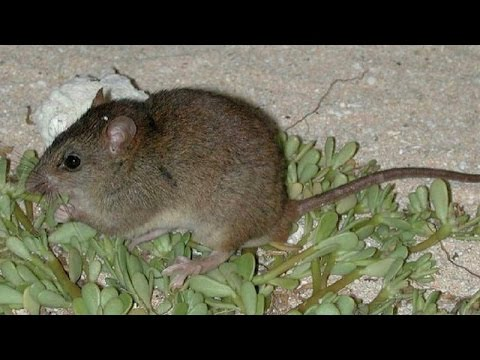 First Mammal Extinction from Climate Change