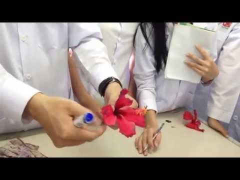 Bông bụp - Thực vật dươc ĐHNCT