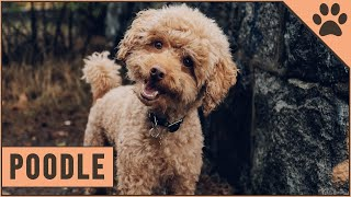 Poodle Dog Breed (Toy, Miniature & Standard Poodle)