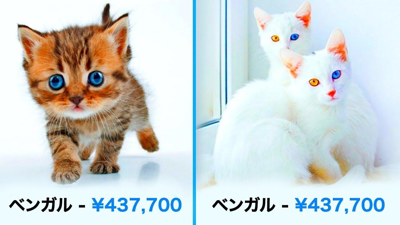 とんでもない値段の猫19品種