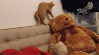 茶トラ子猫「ひろし」空中を蹴るは声出るはで興奮状態です。 Little Kitty Completely Hyper thumbnail