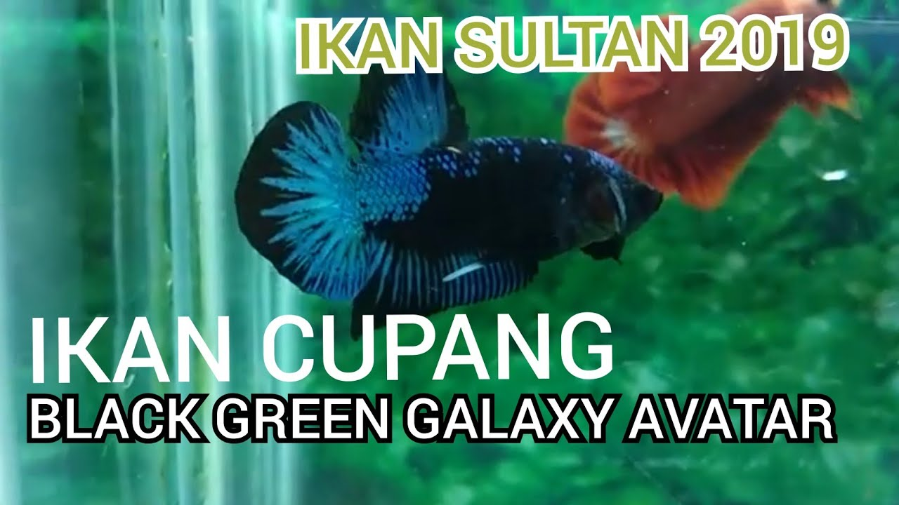 Ikan Cupang Black Green Galaxy Avatar Youtube