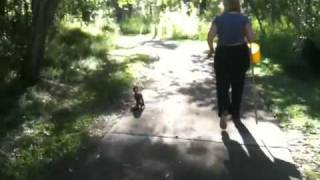 Bengal Cat Going For A Walk With Her Pet Sharpei And Rotty!!