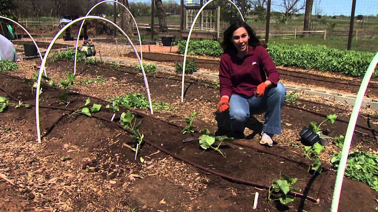 Planting and Protecting Cucurbits & Zucchini - YouTube