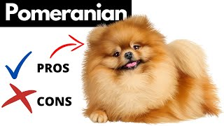 Pomeranian Pros And Cons | The Good AND The Bad!!