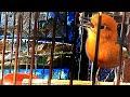 Cricitan Anis Merah Jantan Ampuh Untuk Terapi Burung Lain Agar Ikutan Gacor Losgan Pokoke  Mp3 - Mp4 Download