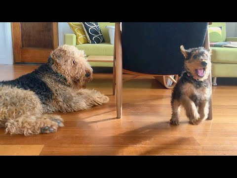Airedale puppy play time!